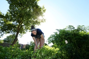 The UW-Sprout CSA Campus Garden is photographed Wednesday, July 29, 2015. Pictured is Brianna Shea, a environmental science sophomore from Hartford, WI, harvesting parsley. (UW-Stout photo by Brett T. Roseman)