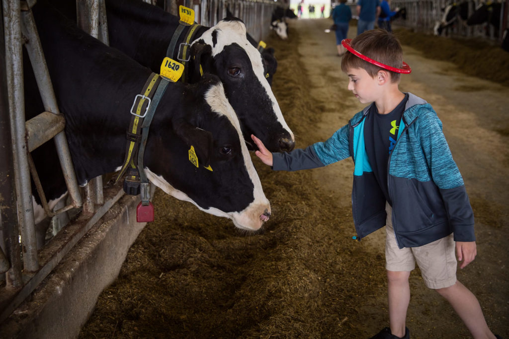 Photo of boy petting a cow at UW-Platteville's Pioneer Farm during the 42nd annual Lafayette County Dairy Breakfast held on June 9, 2018.