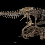 Photo of a T. rex dinosaur skeleton