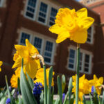 Photo of UW-Eau Claire campus with daffodils