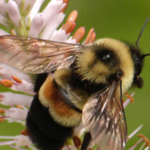 Photo of Rusty Patch Bumblebee, a rare bee for which UW-Parkside is trying to restore habitat