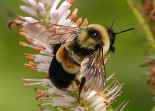 Photo of Rusty Patched Bumble Bee, a rare bee for which UW-Parkside is trying to restore habitat