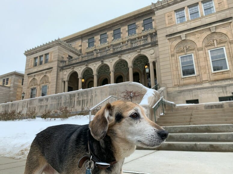 Photo of Chester, a 12-year-old beagle mix, who is enrolled in a study funded by the Department of Veterans Affairs to evaluate a novel immunotherapy in dogs with melanoma. The study funds the canine clinical trials at UW Veterinary Care. PHOTO COURTESY OF BRITTNEY MAEHL