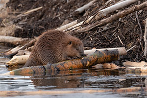 Photo of the dams that beavers build in rivers and streams helping slow the water rushing downstream. (Stock photo)