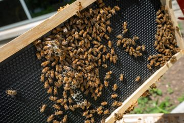 Photo of honey bee colonies installed May 1 behind the Student Rec building. at UW Oshkosh.