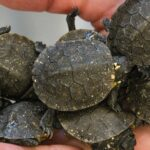 """Photo of Blanding's turtle hatchlings like these were hatched in captivity and released in a Rock County marsh as part of a multi-year study involving UW-Whitewater students of a conservation practice called """"headstarting."""" (UW-Whitewater photo/Craig Schreiner)"""