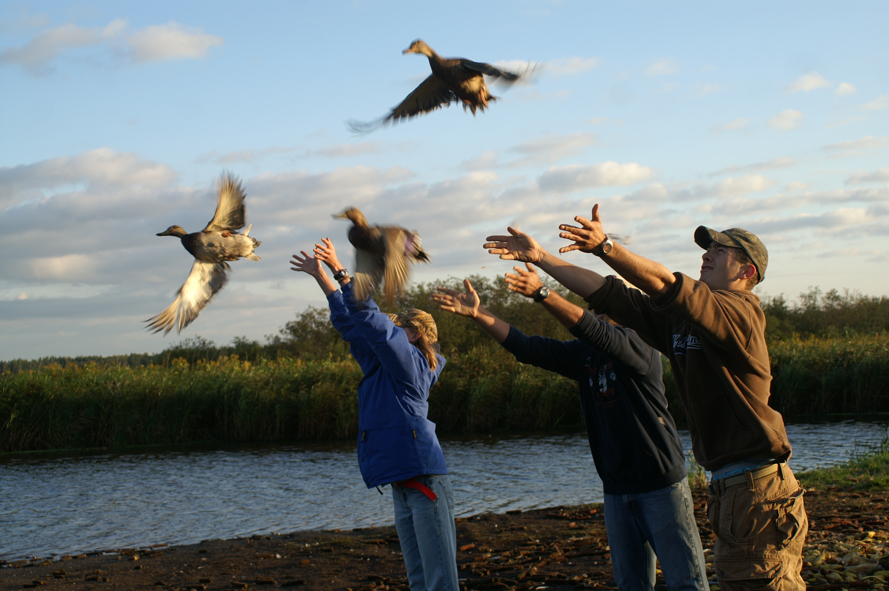 news from around the uw system news uw stevens point students release banded ducks at mead wildlife refuge